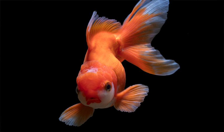 How gold fish see color?